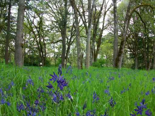 Camas meadow among Oak Trees, Bush Park, Salem Oregon, 2013