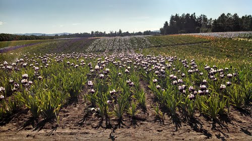 Lake Labish Onion field