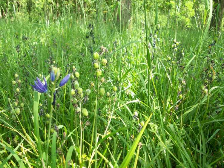 Camas going to seed, 2014