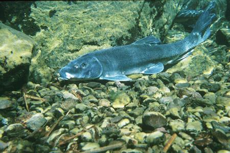 Sucker Fish, Klamath River