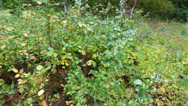 Deep Green Poison Oak