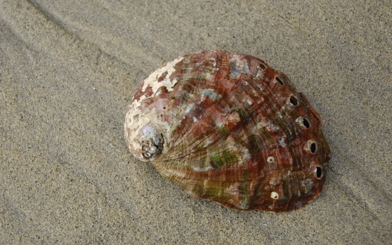 Abalone, courtesy of Central Coast biodiversity. org