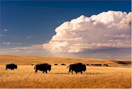 Bison on the FPIR