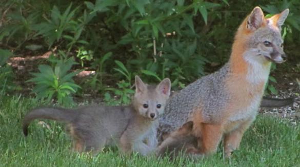 grey-fox