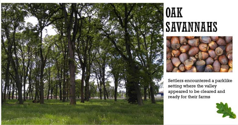 Oak Savanahs were/are fire resistant